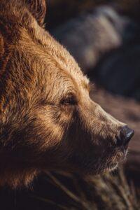 близък кадър на мечка