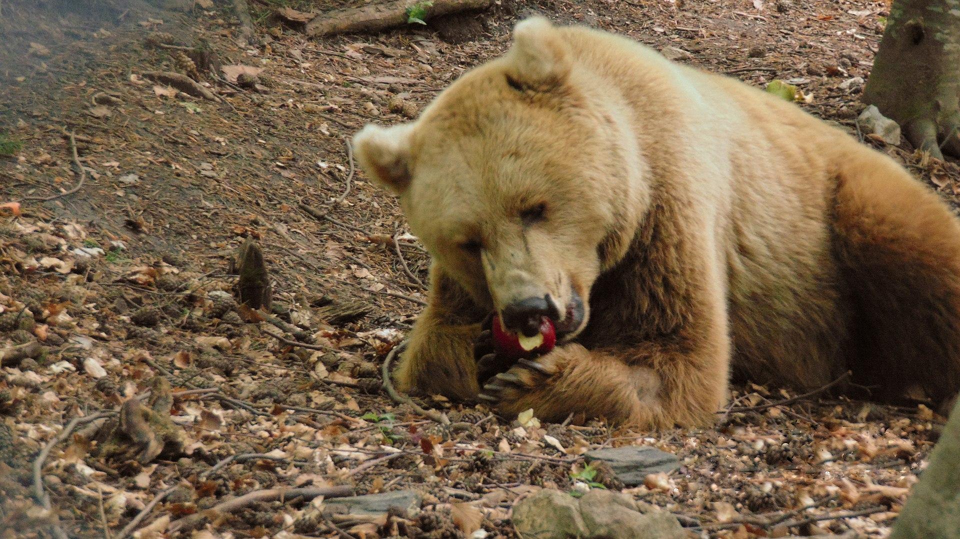 мечка ядяща ябълка