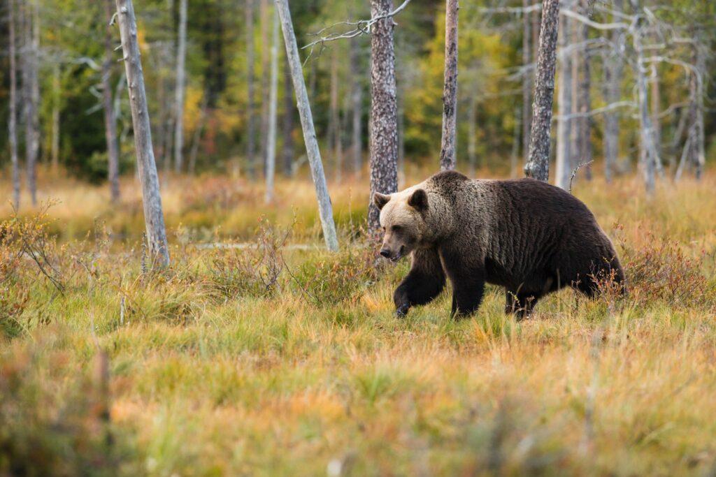 разхождаща се мечка
